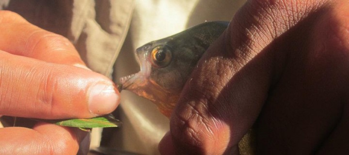 Fishing for The Red Belly Piranha in the Amazon Jungle