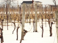 Winter Wine Country Tour & Tasting in Niagara-on-the-Lake