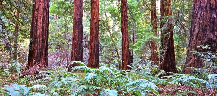 Hiking the Redwood Forest of Majestic Muir Woods